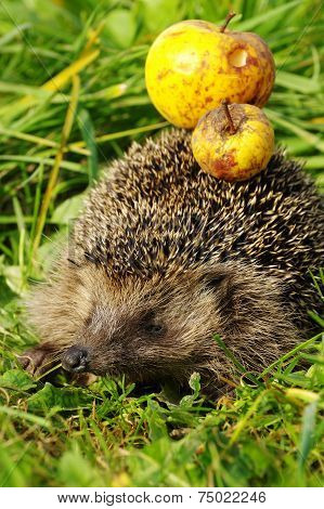 Hedgehog with apple 9