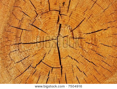Cross Section Of Big Tree Trunk