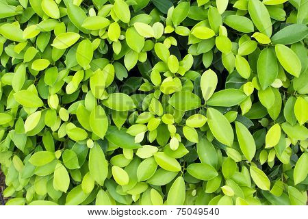 Alkaline ficus leaves