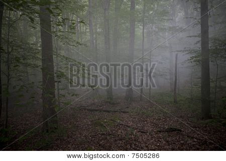 Foggy Woods