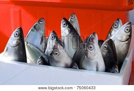 Fresh milkfish for sale