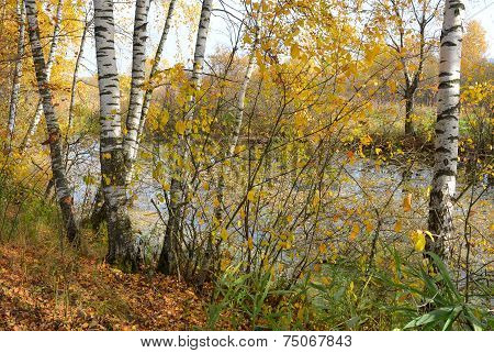Birch Grove On The Lakeside Of Forest Lake