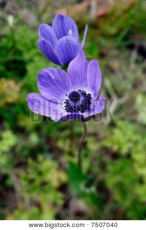 Blue Poppy Anemones (anemone Coronaria)