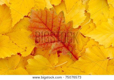 Oak Leaf Fell On Birch Leaves.