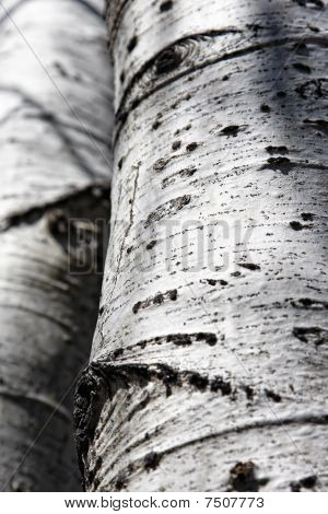 Aspen Trunks in Sunlight and Shadow