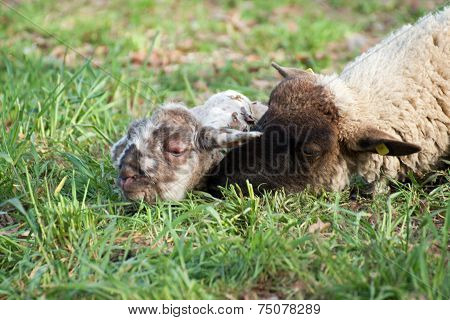 Sheep with newborn lamb