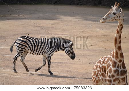 Zebra and Giraffe