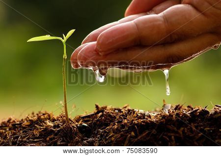 Male hand watering young tree