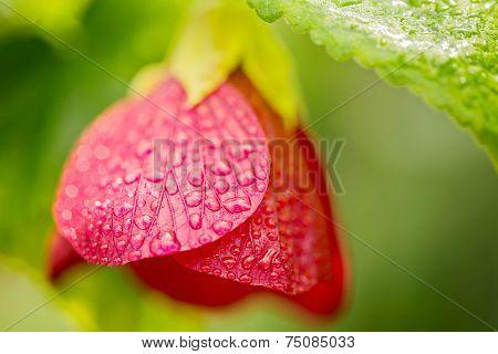 Red Chilean Lantern Tree, Chinese Lantern Bell Flower, Macro