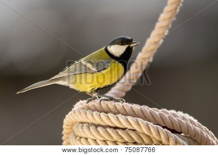 Tit on Rope