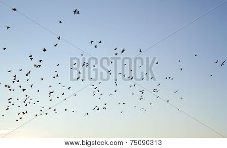 Starlings flying at dusk waiting to roost
