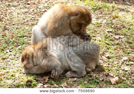 Barbary Monkies Grooming