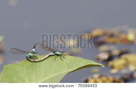 Dragonfly Mating