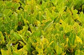 picture of crotons  - Yellow and green Codiaeum variegatum leaf background - JPG