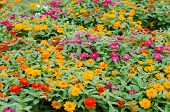 image of zinnias  - zinnias flower blooming in garden - JPG