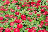 stock photo of zinnias  - Red blooming zinnias flower in garden - JPG