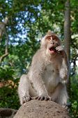 picture of macaque  - crab-eating macaque or long-tailed macaque or macaca fascicularis