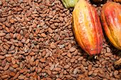 stock photo of cocoa beans  - Cocoa beans and fruit at a cocoa plantation in the Dominican Republic - JPG