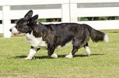 pic of corgi  - A young healthy beautiful brindle black tan and white Welsh Corgi Cardigan dog with a long tail walking on the grass happily. The Welsh Corgi has short legs long body big erect ears and is a herding breed.