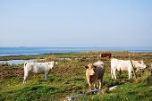 picture of sea cow  - Idyllic view at a pastureland with grazing cows at the Swedish island Oland - JPG