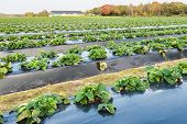 stock photo of strawberry plant  - Strawberry plants outside in long lines growing up with black plastic film covered ground to a specialized strawberry nursery - JPG