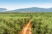 image of row trees  - Panoramic view on olive and fruits trees planted in rows. Spain. ** Note: Soft Focus at 100%, best at smaller sizes - JPG