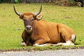 stock photo of cattle breeding  - The Wild Cattle lying outdoor grass happily.
