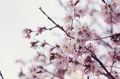 image of sakhalin  - japan cherry sakura flowers in bloom closeup photo - JPG
