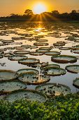 stock photo of lapacho  - High contrast Sunset in Brazilian Pantanal with victoria regias and water - JPG