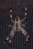 pic of orbs  - An insect called the Cross Spider - JPG