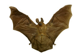 image of vampire bat  - Genuine dead and dried VAMPIRE BAT for sale that You can own - JPG