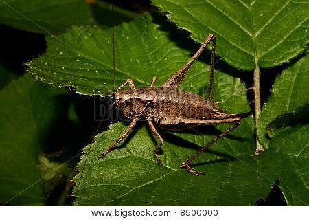 Wart-biter (Decticus verrucivorus)
