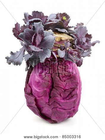 cabbage-head isolated on white background
