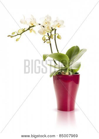 An image of a white mini orchid isolated