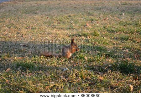 red squirrel on the grass with a nut