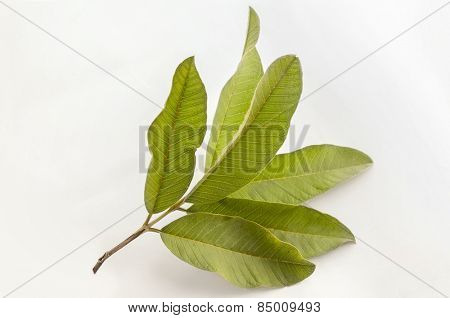 Isolated bunch of leaves of Indian custard apple - sitaphal.