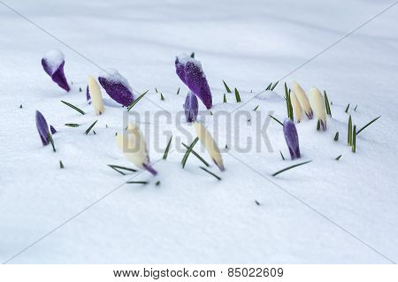 White And Purple Crocus Flower Bed Covered With Snow.