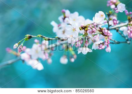 Early spring cherry blossom with clusters of flower buds, with beautiful blue green  background. Focus is on forehand flower and flower buds on right hand side.