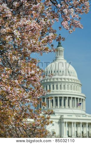Washington DC in Spring - The Capitol Dome among the tree blossoms