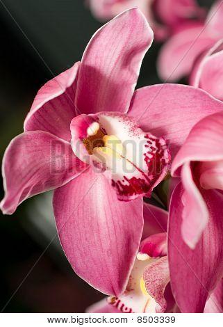 Pink Cymbidium Or Orchid Flower Bud