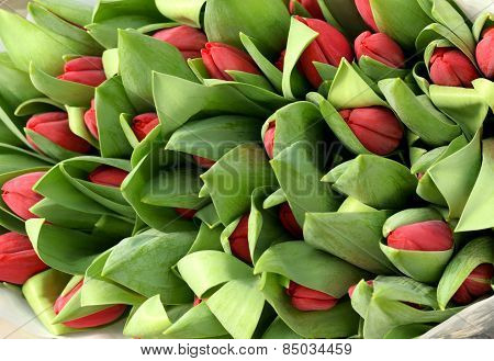 Large Bunch Of Red Tulip Buds