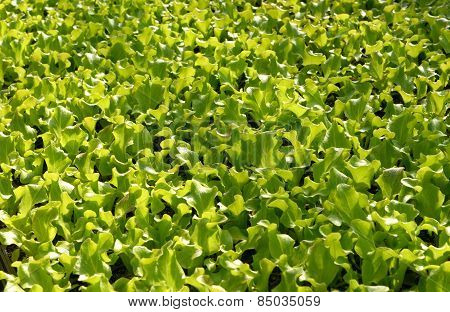 Fresh Young Lettuce Plants