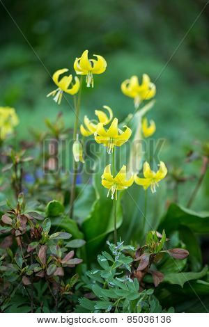 Yellow flowers of erythronium.