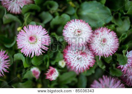 Marguerite flowers