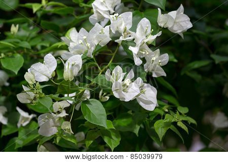 bunch of white bougainvillea flowers