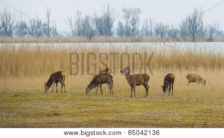 Red deer grazing in a field near a lake