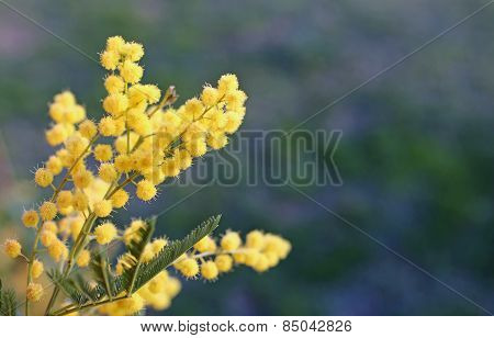 Big Yellow Mimosa Flower In Spring
