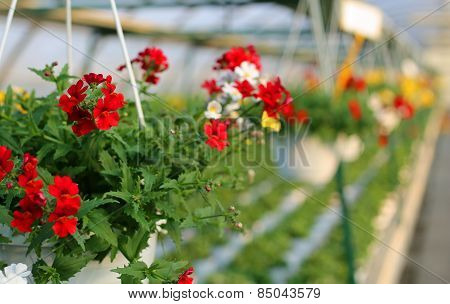 Blooming Geranium Plants For Sale In The Greenhouse