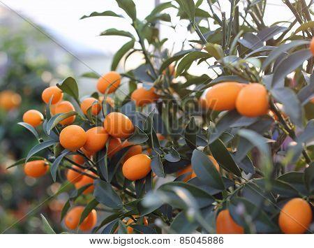 Kumquat Orange Fruit Hanging  In The Orchard Of South Europe