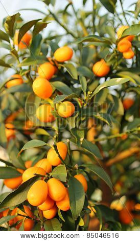 Kumquat Orange Fruit Hanging From The Mast Of The Orchard